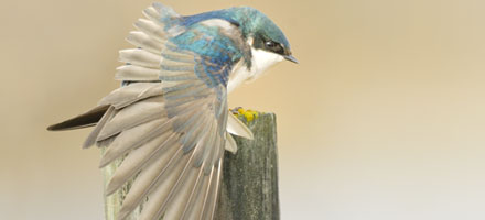 Tree Swallow – Gilles Korent